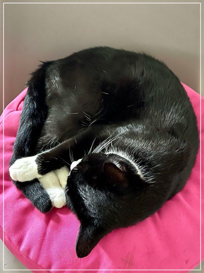 Katten Jansson som en boll på sin stol